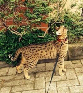 Savannah Cats For Sale | Savannah Kittens For Sale