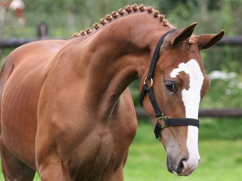 Fact #2:  The Dutch Warmblood is possibly the most successful of the competition breeds.  One of its own has the title of world's most successful show jumper and one of the most famous dressage partnerships of all time was Jennie Loriston-Clarke and Dutch Warmblood, Dutch Courage.: