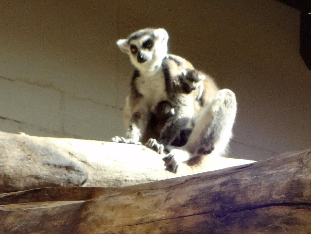 Lemuren - - Zoo Erfurt