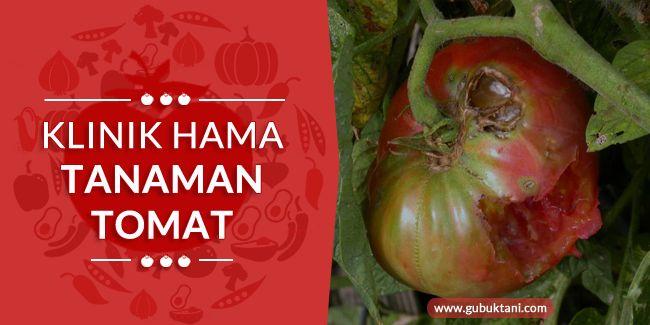 Hama tanaman tomat merupakan salah satu faktor yang dapat mengurangi kebahagiaan kami para petani ketika musim panen...