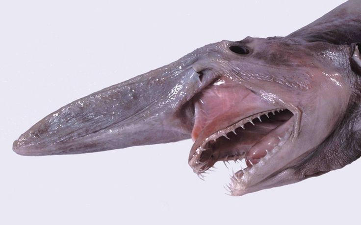 The goblin shark can only be found in the deep ocean