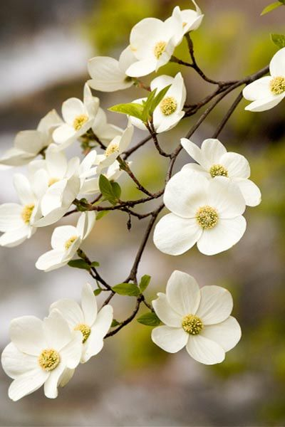 Flowering Dogwood: Given well-drained soil and a little shade, it makes a lovely landscape tree, too, as this dogwood only reaches 20 to 40 feet tall, a perfect size for smaller yards. In late spring, small clusters of pale green flowers surrounded by white or pink bracts emerge, followed by clusters of bright red fruit.