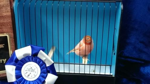 JansBirds.com by Jan Davie is dedicated to Gloster and Stafford Canaries, breeding, and sales.