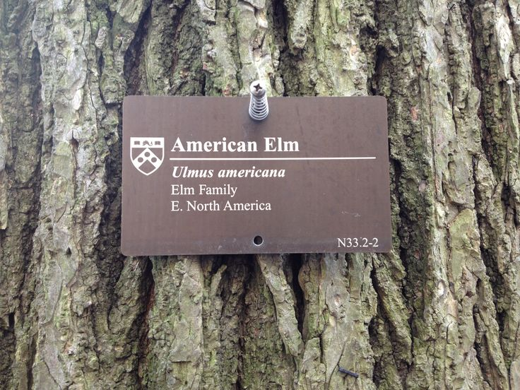 An American Elm at the University of Pennsylvania in the US, where we went to promote our University and Higher Education consulting business desk.