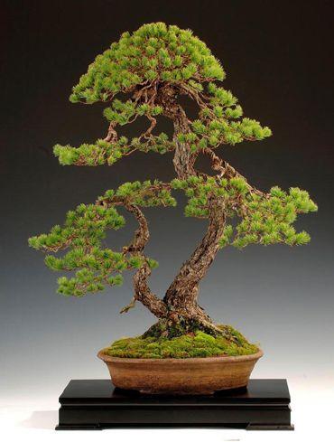 Pinus pentaphyla by Steve Tolley