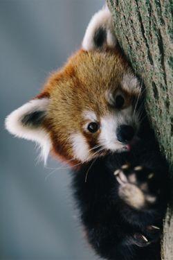 El panda rojo dice ¡hola! - Red panda says hello!
