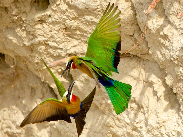 White-fronted bee-eaters...having some difference? - The difference between the two white fronted bee-eaters was most probably on who's nest is who's....?