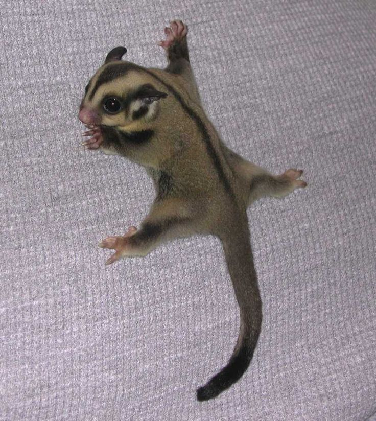 Sugar Glider aka pocket pet who wants one :)