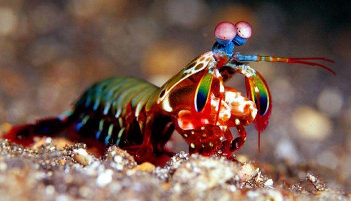 Squille multicolore