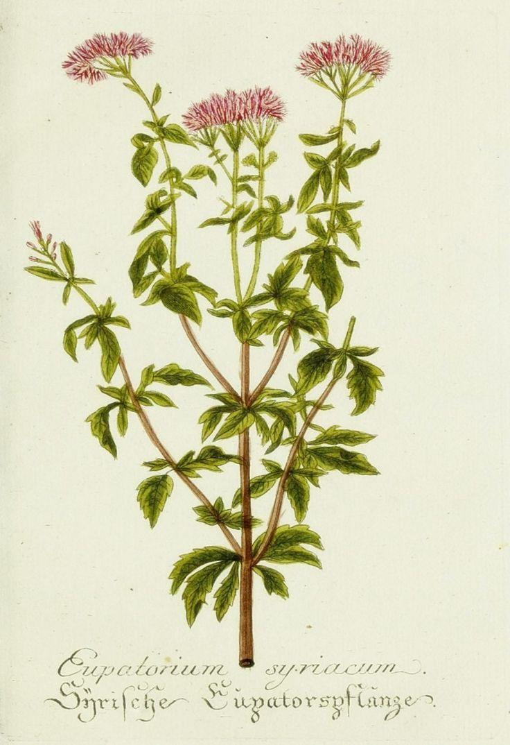 17 mejores imágenes de botanical en Pinterest | Etiquetas, Flores ...