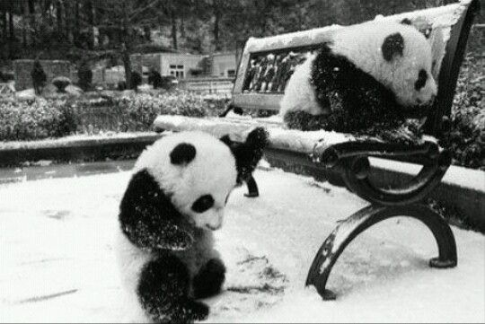 Pandas Winter