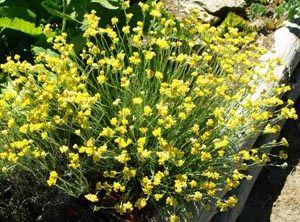 Helichrysum (Helichrysum italicum) potted plant, organic 1