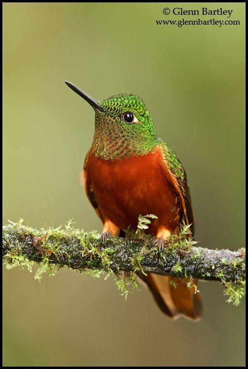 Coronet hummingbird