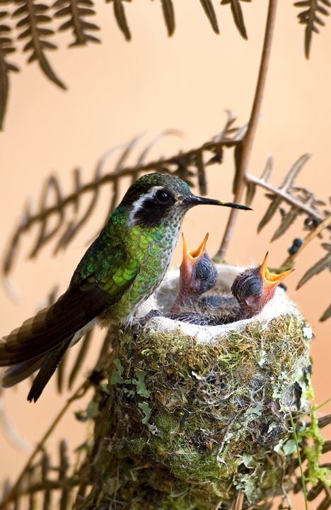 Hummingbird at nest with young bird