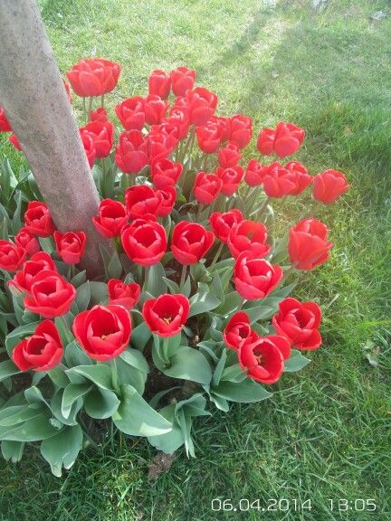 #red #tulips #Istanbul
