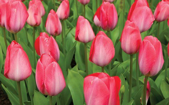 Celebrate tulip season with the Top Knobs Holland Series. #cabinethardware