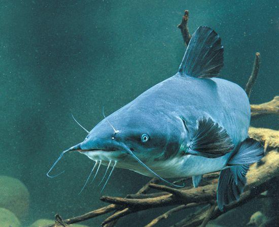 Blue Catfish, Baitfish and Mussels