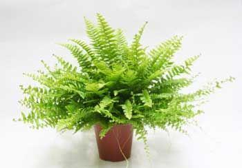Ficha de la planta Helecho de Boston, Nephrolepis Exaltata Bostoniensis