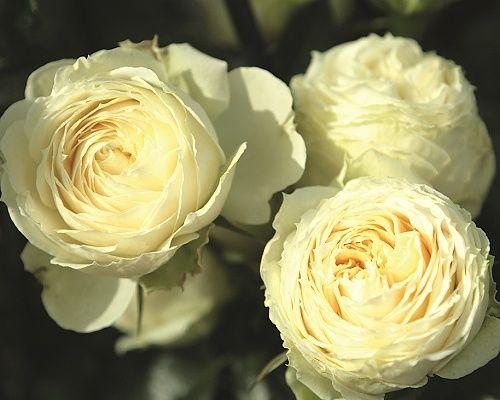 Méně známý čajový hybrid, dorůstající do výšky 70-100cm. 8-10cm široké plné květy mají zajímavou žlutozelenou barvu. Jsou velmi dekorativní a hodí se tak k řezu do vázy. Sázíme 4-5 rostlin na 1m2. 149,- Kč