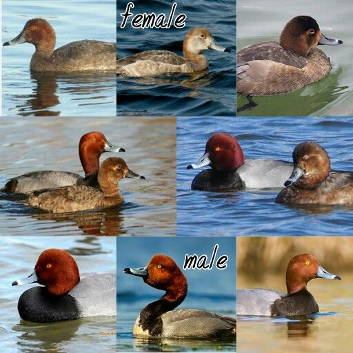 Pictures of redhead ducks consider