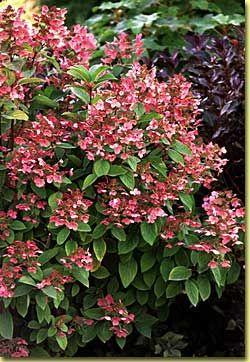 Hydrangea paniculata Quickfire...beautiful
