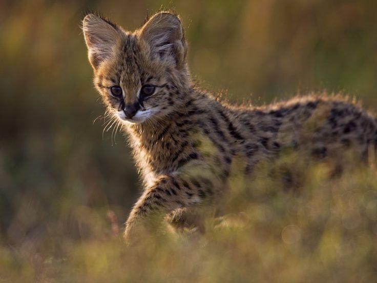 Ten Amazing Small Wild Cats (SMITHSONIAN.COM) Wildcat, Margay, Sand Cat, Serval, Jaguarundi, Flat-headed Cat, Pallas' Cat, Leopardus guttulus, Bay Cat, and Iriomote cat.