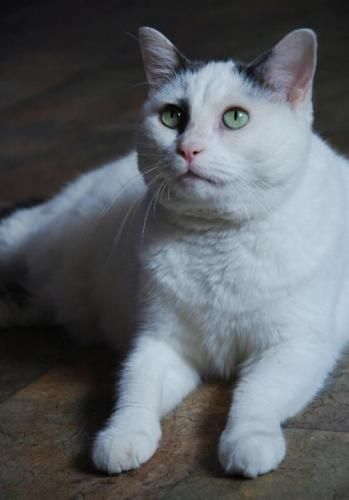 Meet Lola, a Petfinder adoptable Domestic Short Hair Cat | Memphis, TN | This girl was taken from the Memphis Animal Shelter only moments before being put to death. Lethal...