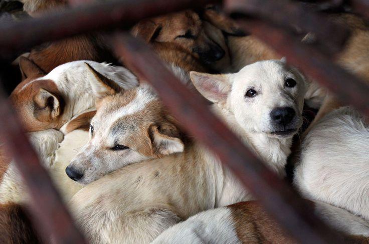 Los perros esperan a ser sacrificados en una jaula para la venta como alimentos en Duong aldea de Noi, en las afueras de Hanoi, Vietnam, el 16 de diciembre de 2011. Mientras que activistas de derechos animales han condenado a comer carne de perro como el trato cruel de los animales, sigue siendo un manjar aceptada popular para algunos vietnamitas, así como en algunos otros países asiáticos. (Reuters / Kham)