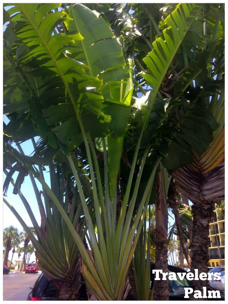 Travelers Palm: a dramatic privacy screen for a tropical look in a narrow space. This fast grower will quickly become 20' tall, and sprout new suckers near the base.