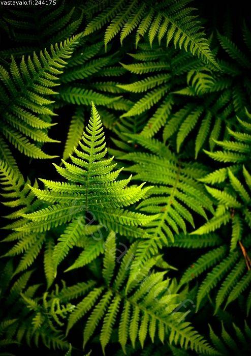 Vihreät lehdet - saniainen