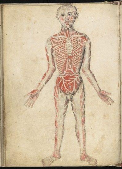 Anatomical illustration, 15th Century