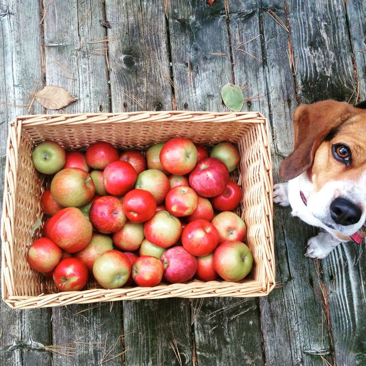 Just back from picking apples in the valley. Sophie our beagle has been kept busy!