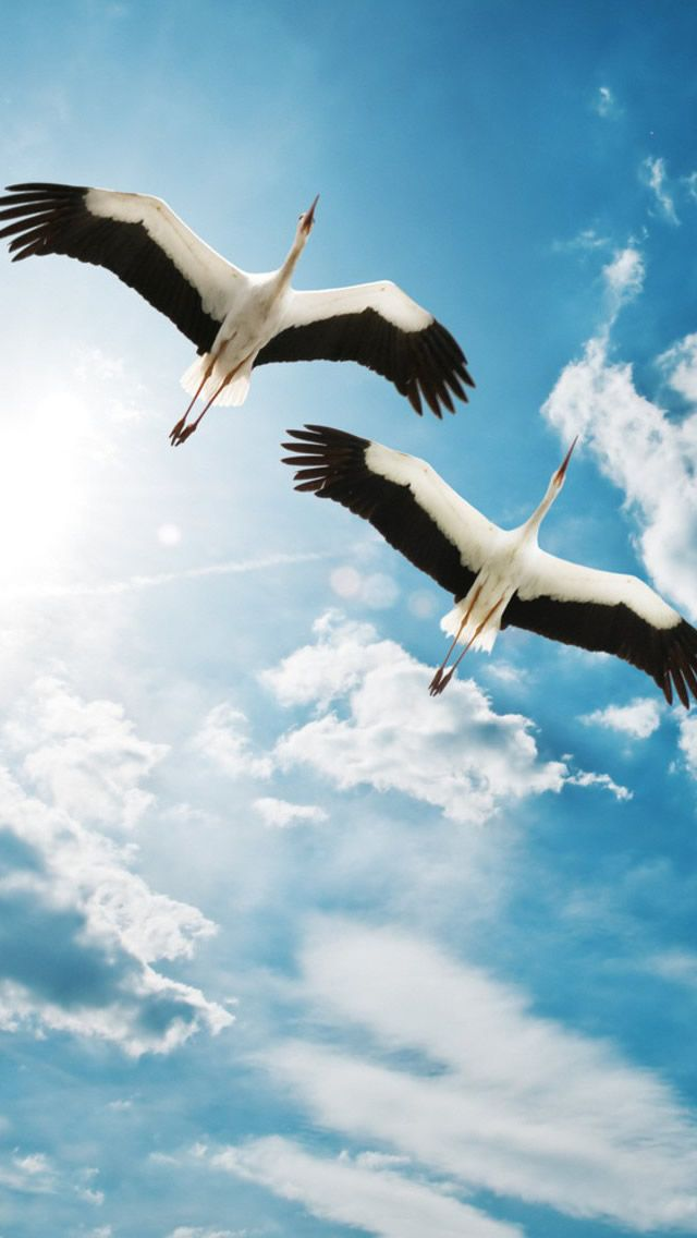 Storks Bird Flying in the Sky - download HD version from iphone5wallpapershub.com