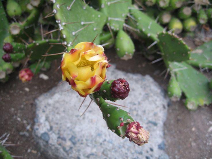 Flor de Cactus, Iquique, Chile.
