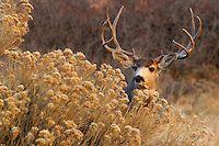 Mule Deer Buck   Peter Eades Wildlife Photography