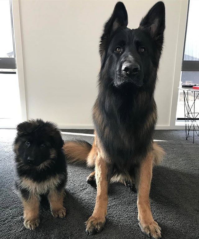 Gorgeous 8 Week Old Raven And 20 Month Old Zoro Jesse 04