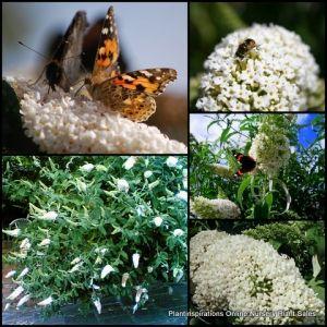 Buddleja Snow White x 8 Butterfly Bush Garden Plants Tuf Shrubs Buddleia davidii Flowers $29.90