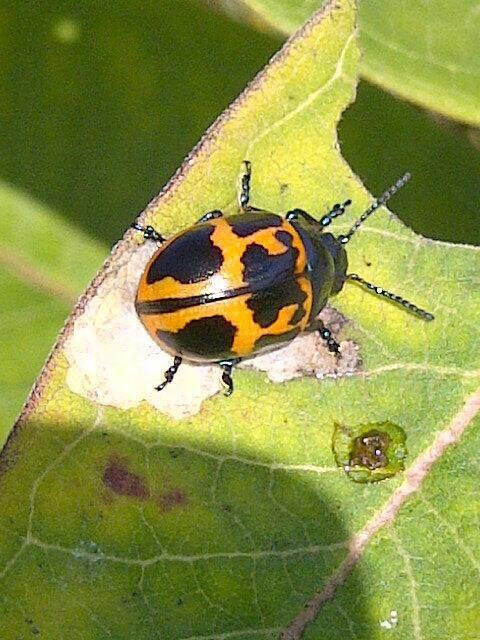 Munching Milkweed Leaf Beetle