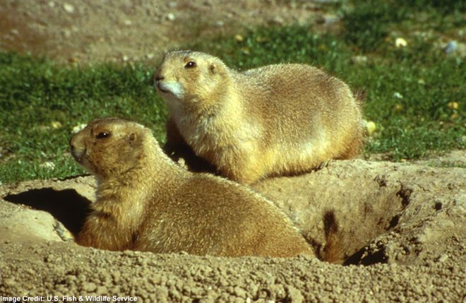Utah Prairie Dog   First listed on June 4, 1973. It is currently designated as threatened. Range: Utah.