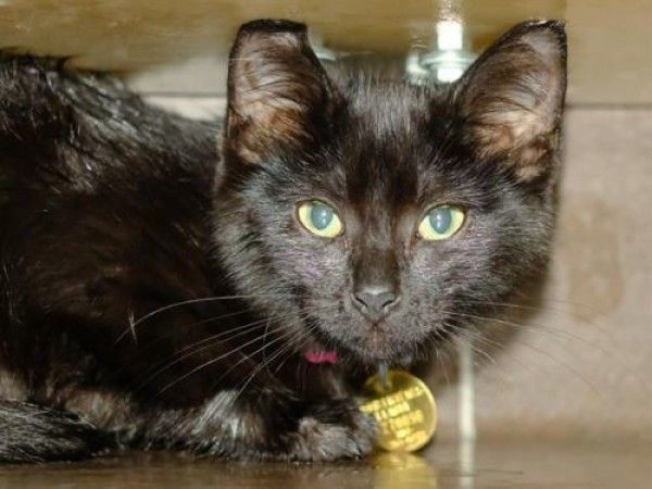 Domestic Short Hair Cat For Adoption In Denver Colorado Pollie In Denver Colorado Cat Adoption Short Hair Cats Cats
