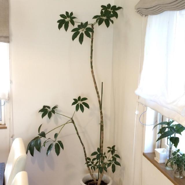 部屋の画像 by ツピたんさん | 部屋とツピタンサスと観葉植物とお気に入り植物 フォト&エピソード コンテスト