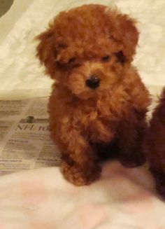 teacup maltipoo puppies for sale - Google Search
