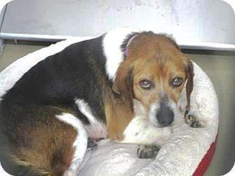 beagle mix knoxville tn