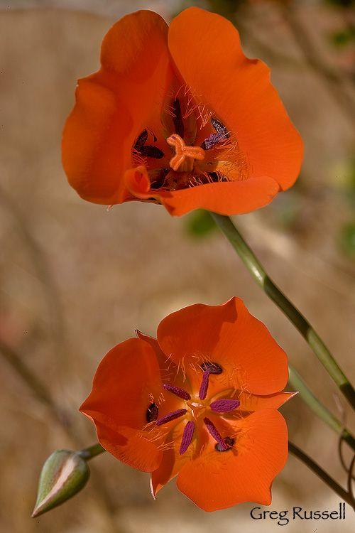 Desert Mariposa Lily
