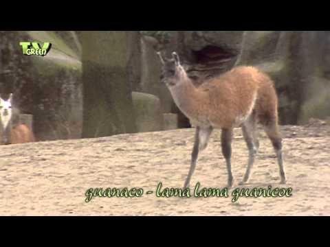 Classic clip: Meet the Guanaco Family #01 - Lama guanicoe - YouTube