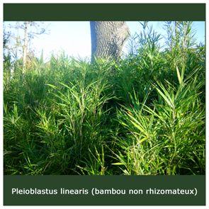 :: Pépinières de Montimas :: Notre production - Gammes pepiniere beziers herault pepinieres plante méditerranéenne resistance a la secheresse graminees bambou bambous graminées jardin sec béziers languedoc roussillon