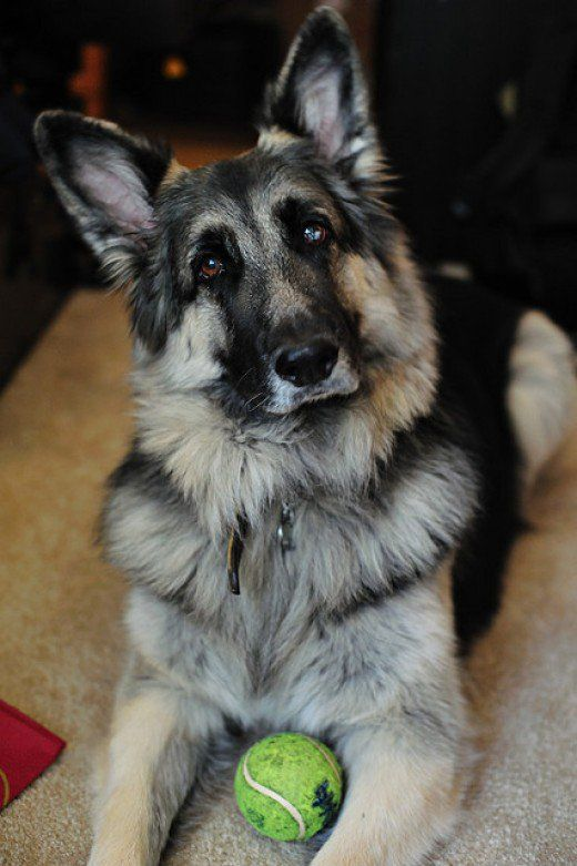 Is The Shiloh Shepherd The Best And Healthiest German Shepherd Dog ...