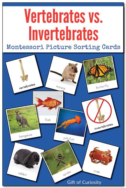 Vertebrates vs. Invertebrates Picture Sorting Cards: Use these Montessori-style picture cards featuring 2 category labels and 22 animal pictures to help your children understand the difference between vertebrate animals (those with a backbone) and inverte
