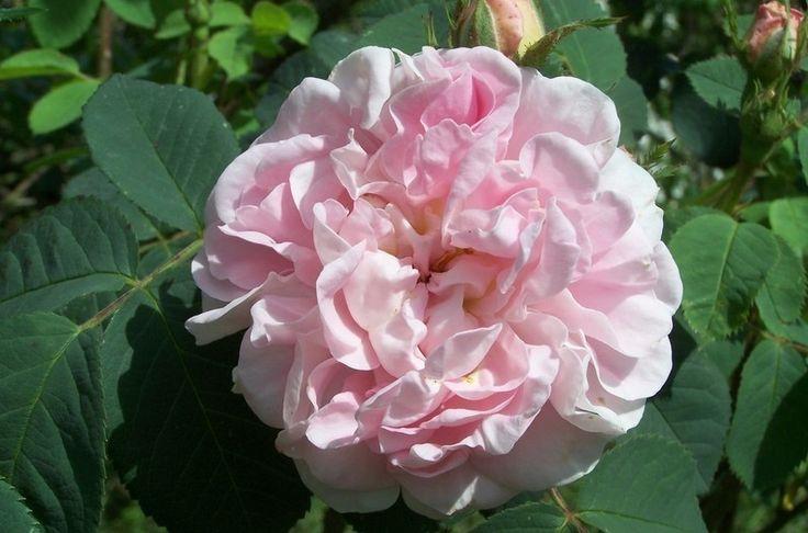 Rose ancienne : Cuisse de nymphe émue