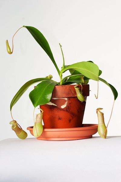 Kancsóka (Nepenthes alata)